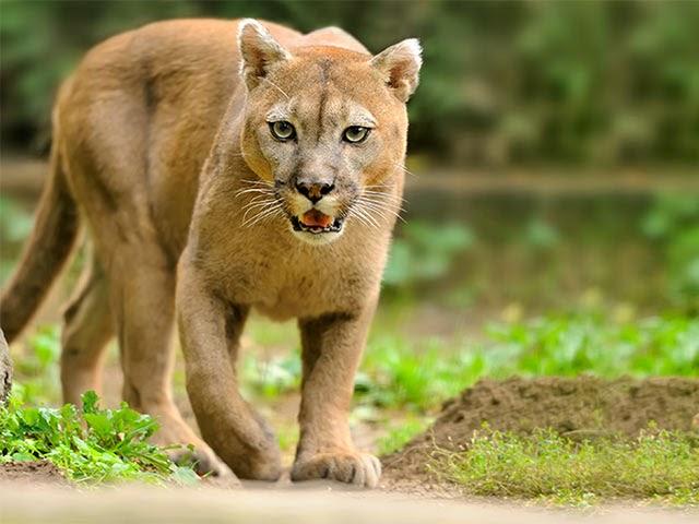 CVC confirmó la presencia de un puma en El Dovio Valle