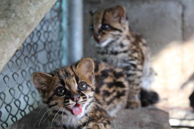 Comunidad de Zarzal y Sevilla rescatan dos tigrillos y los entregan a CVC