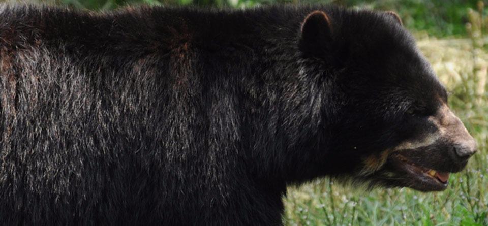 Autoridades de Nariño aumentarán seguridad por muerte de oso de anteojos