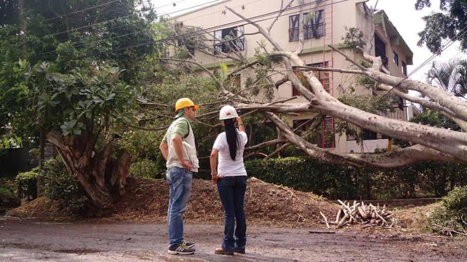 Árboles ficus de Cali serán talados si representan peligro para viviendas