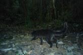 Encuentran nueva especie de felino en las montañas del Valle del Cauca
