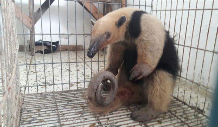 Rescatan oso hormiguero herido por mordidas de perros