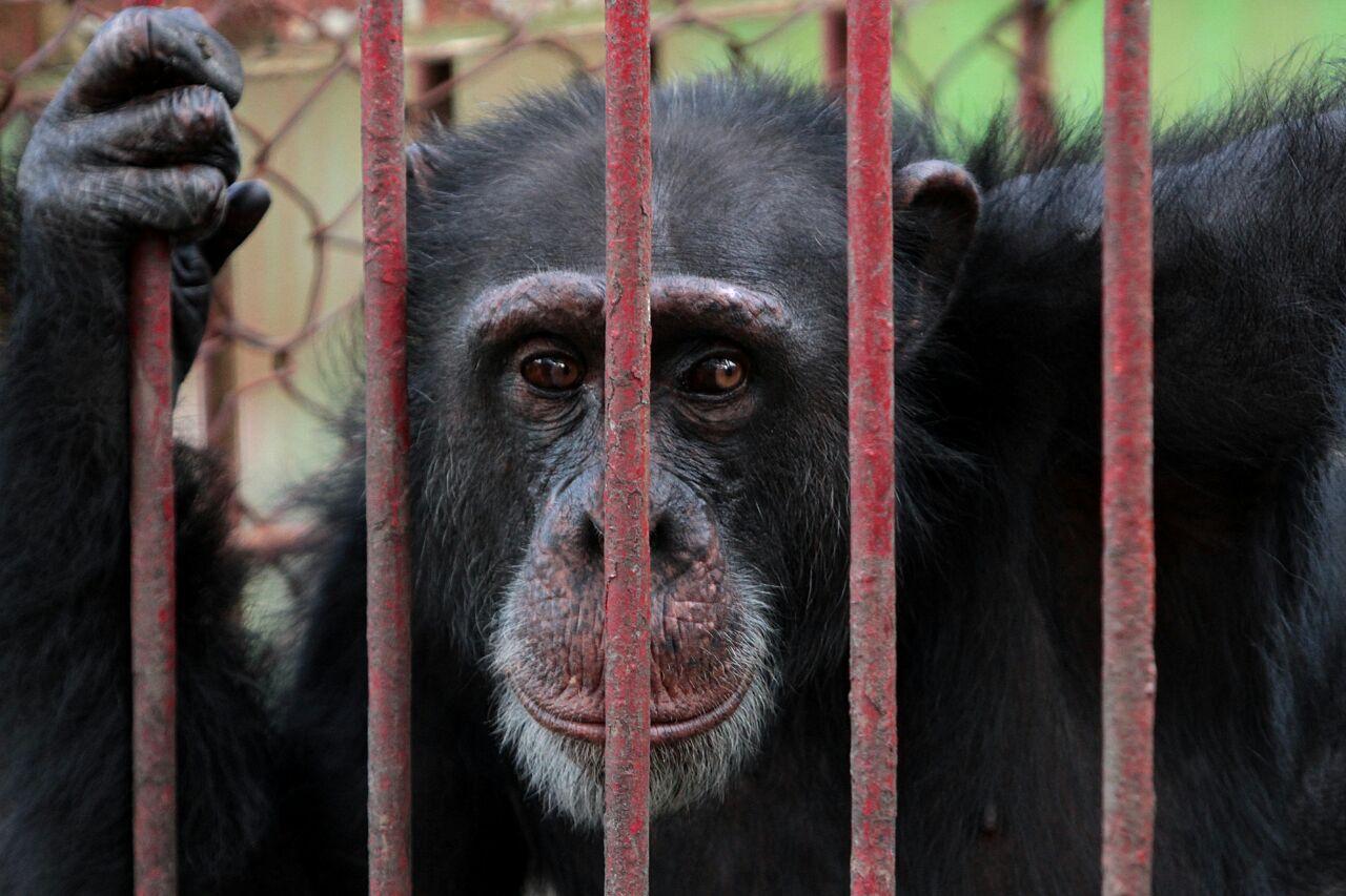 Chimpancé vuelve a refugio de animales tras haberse fugado