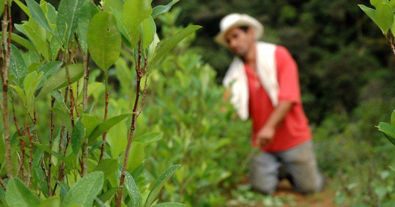 Anuncian suspensión provisional de erradicación de cultivos ilícitos en Jamundí