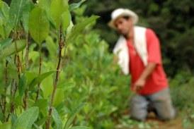 Dagua, Bolívar y El Dovio avanzan en sustitución voluntaria de cultivos ilícitos