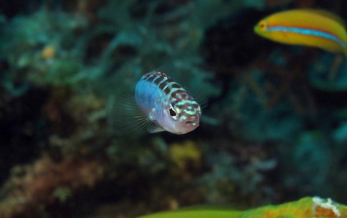 Biólogos descubren un pez que cambia de sexo 20 veces al día y es monógamo