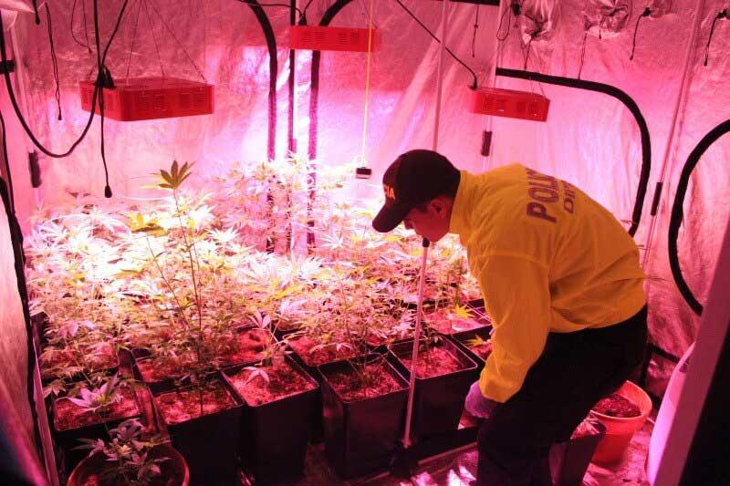 Hallan invernadero de marihuana en tres viviendas en el sur de Cali