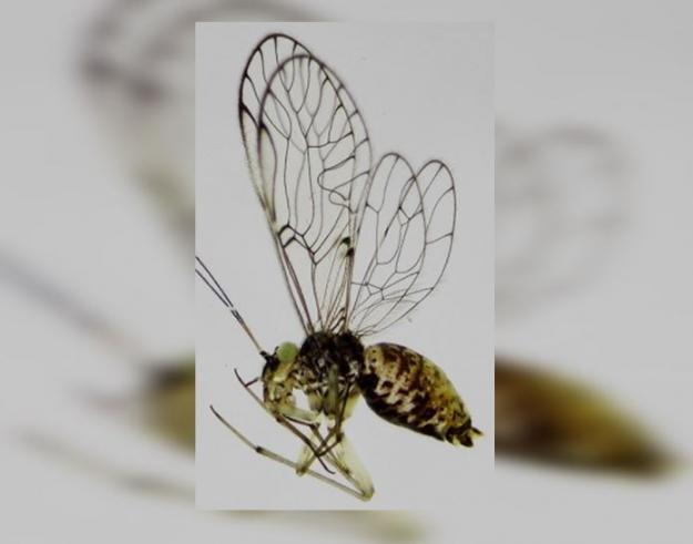 Investigadores de Univalle descubren insecto 'Loneura Univalle'