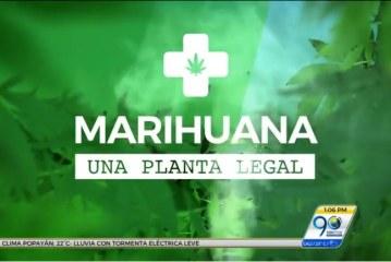Informe especial, en detalle: 'Marihuana, una planta legal'
