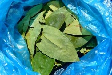 Sembrados de coca serán sustituidos por cultivos productivos en el Valle