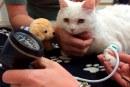 ¡Mucho cuidado! su gato también puede sufrir hipertensión