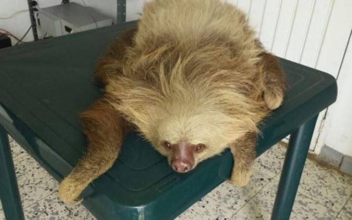 Policía salva oso perezoso que atravesaba vía Buenaventura – Cali