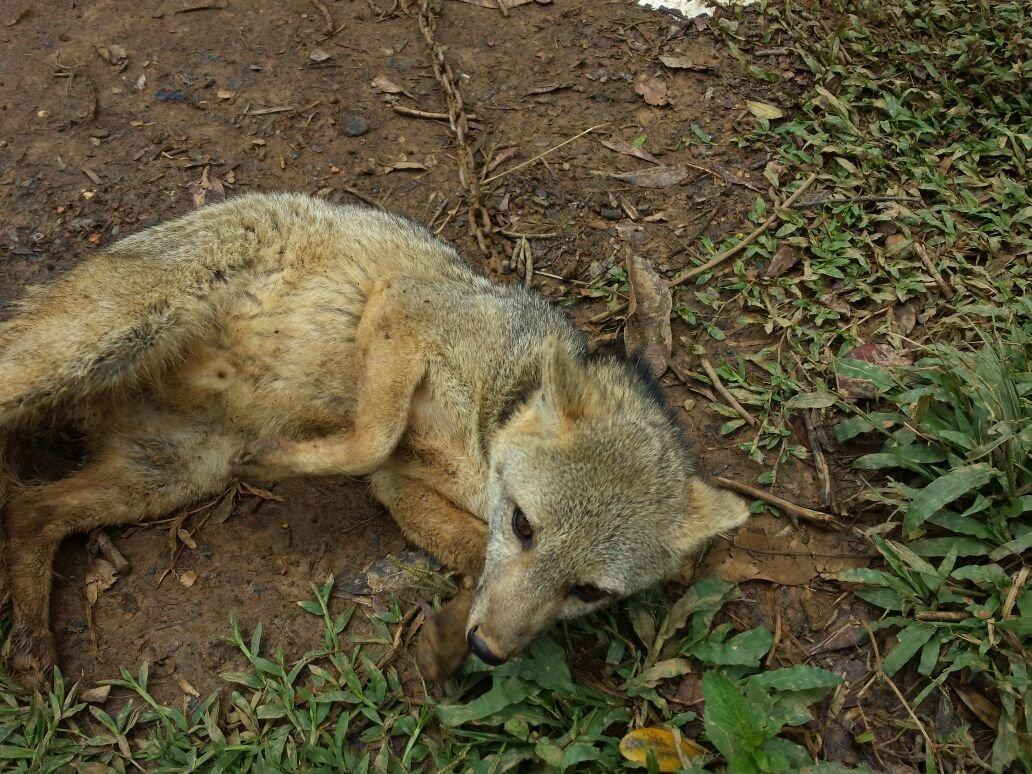 CVC rescató zorro en condición de cautiverio en el municipio de Yotoco
