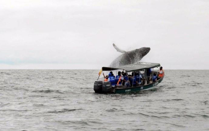 En Julio, las ballenas jorobadas llegan al Pacífico vallecaucano