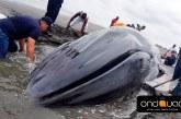 Falleció ballena que había encallado en playas de Bocagrande en Tumaco