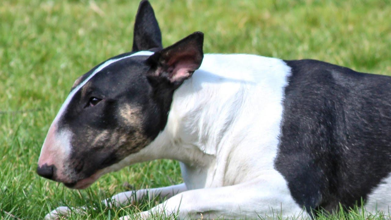 Dos adultas mayores resultaron heridas tras ataque de un perro de raza Bull Terrier