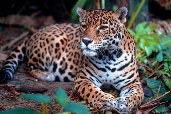 CVC solicitó a la comunidad proteger a jaguar que deambula por Bajo Calima
