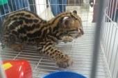 Rescatan leopardo ocelote en Buenaventura que sería comercializado ilegalmente