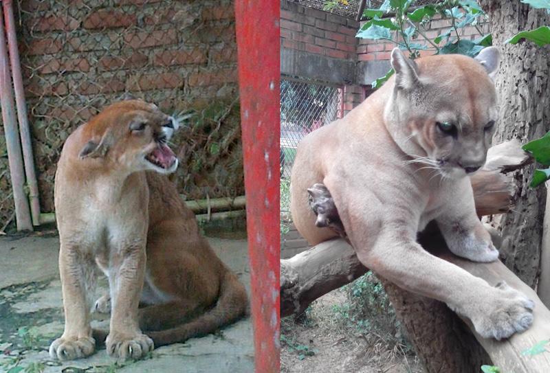 Contraloría cuestionó fallas del sitio donde murieron dos pumas que cuidaba Paz Animal