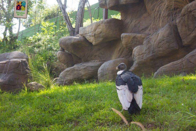 Zoológico de Cali inaugura su nuevo hábitat 'El Camino de los Andes'