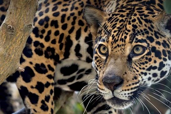 Alerta por ataque de jaguar a caballos y novillos en el sur del Cauca