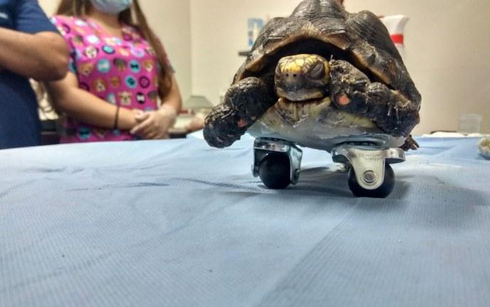 Tortuga recibió implantes de acrílico en patas delanteras para poder caminar
