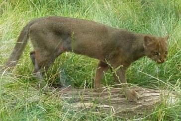 Liberan puma yagouaroundi en zona rural de Cartago