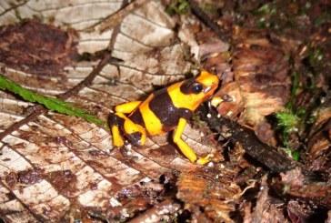 Autoridades en Alerta por tráfico ilegal de rana venenosa en el Valle del Cauca