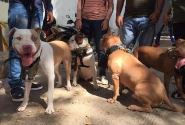 Podrían aplicarle eutanasia a perro pitbull que mordió a dos estudiantes caleños