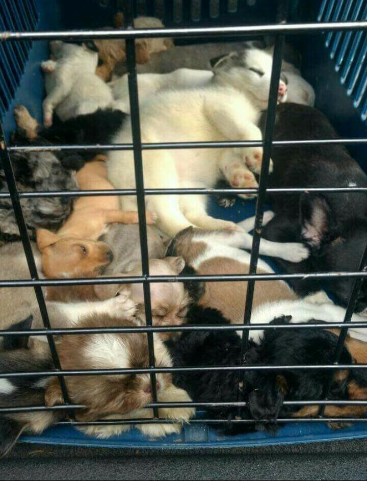 25 cachorros se salvaron de ser vendidos ilegalmente en diferentes sitios de Cali
