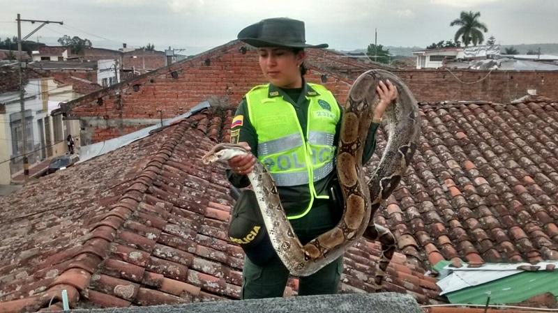 Autoridades confiscan dos boas constrictor en Tuluá, Valle del Cauca