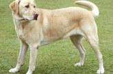 Perro labrador muerde a menor de 7 años en Santander de Quilichao, Cauca