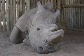 ¿Y la especie? Murió Sudán, último rinoceronte blanco del norte macho del mundo