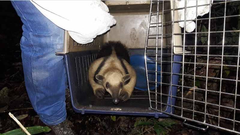 Oso hormiguero fue rescatado tras estar atrapado en techo de parque recreacional de Ansermanuevo