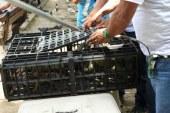 Autoridades ambientales reubicaron 50 iguanas en la Laguna de Sonso, Valle