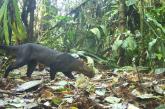 Cámaras trampa no detectaron presencia de Jaguar en Dagua, Valle