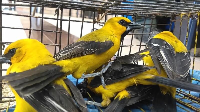 Autoridades detienen a hombre por cazar turpiales amarillos en Bolívar, Valle