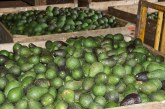 Agricultores del Valle a un paso de exportar aguacate hass hacia Norteamerica