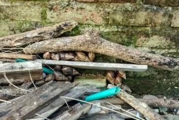 Ante temporada invernal, aumenta presencia de caracol africano en barrios de Cali
