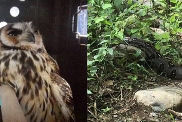Autoridades ambientales rescataron una boa y un búho en Dagua, Valle