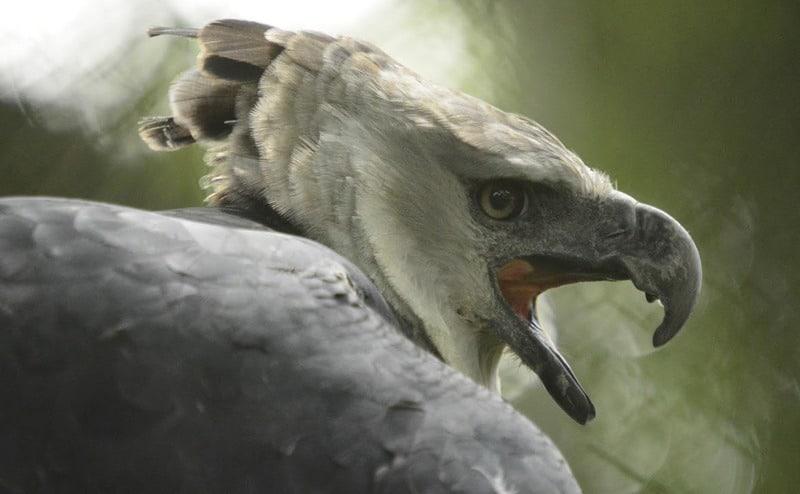 Conozca cómo es el proceso para la reproducción en cautiverio del águila arpía