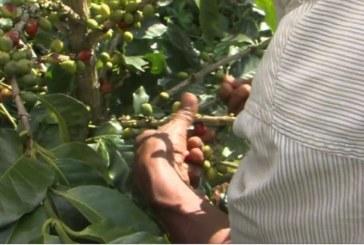 Multinacional italiana comprará café a reinsertados del proceso de paz con las Farc