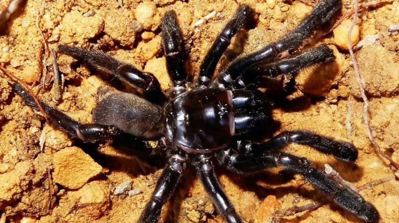Murió a los 43 años 'Bárbara', la araña más vieja del mundo