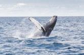 Más de 3.000 visitantes han sido parte del avistamiento de ballenas en el Pacífico