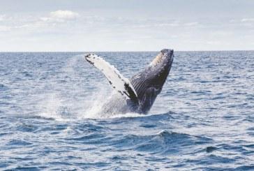 """""""Temporada de ballenas dinamiza economía en el Pacífico vallecaucano"""": Gobernadora del Valle"""