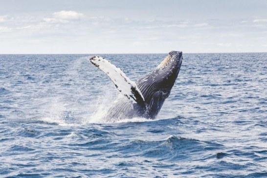 Así se vivió el Encuentro Mundial de Ballenas y Cantaoras en el Pacífico