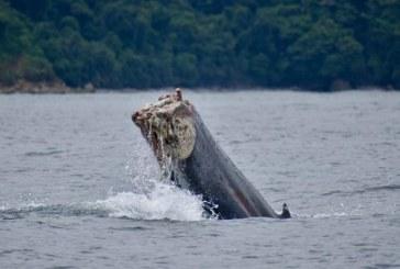 Conmoción: hallan ballena jorobada con su cola amputada por malla de pesca en Chocó