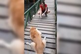 Video de Golden Retriever atravesando puente en Pance conmueve redes sociales