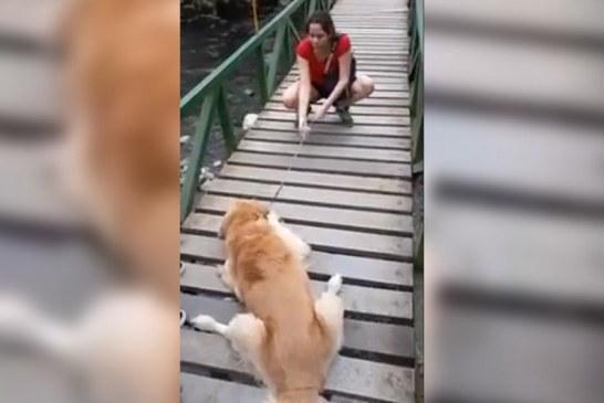 Video de Golden Retriever atravesando puente en Pance conmueve redes sociales