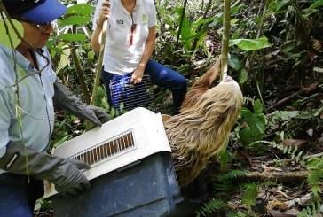 Perezoso que llegó a vivienda en La Unión, Valle es llevado a su hábitat natural